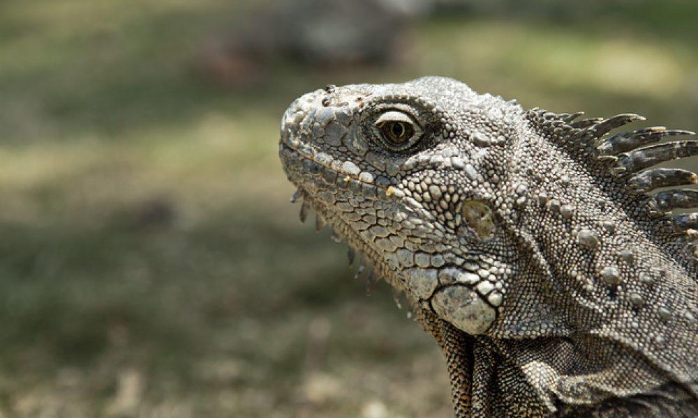 Iguana del Parque Seminario